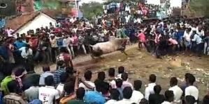 في الهند.. ثور هائج يفتك بالمتعبدين