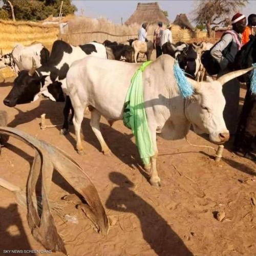 في جنوب السودان..مهر ابنة الرئيس 500 بقرة