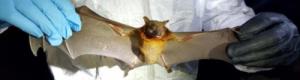 هل انتقل كورونا من الخفافيش إلى البشر.. دراسة عملية تجيب؟