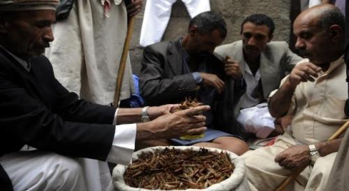 """شاهد ..( فيديو) مالذي تم استخراجة من احشاء """" جرادة """" التي ياكلها اليمنيون وتمثل وجبة موسمية !"""