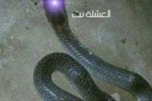 شاهد: العثور على جوهرة ثعبان في محافظة شبوة قيمتها اثنين مليون ريال سعودي