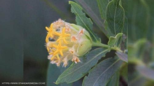 """باحثون يكتشفون حلا للسمنة في نبتة """"لا تخطر على البال"""""""