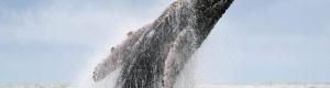 """كيف تحمي الحيتان صغارها؟.. دراسة تكشف """"الطريقة السرية"""""""