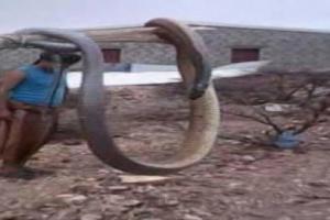 ثعبان عملاق يلتهم عدد من المواطنين في الحديدة وقوات حوثية تحاصر المكان وتعجز عن قتله