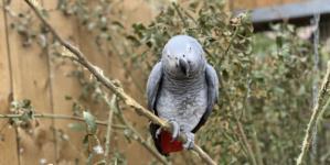 طرد 5 ببغاوات أفريقية من حديقة بريطانية بسبب شتائمها الخادشة للزوار