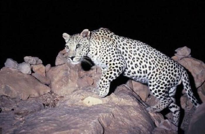 شاهد: لايتعدى عدده الـ 200.. رصد النمر العربي المهدد بالإنقراض في ظفار