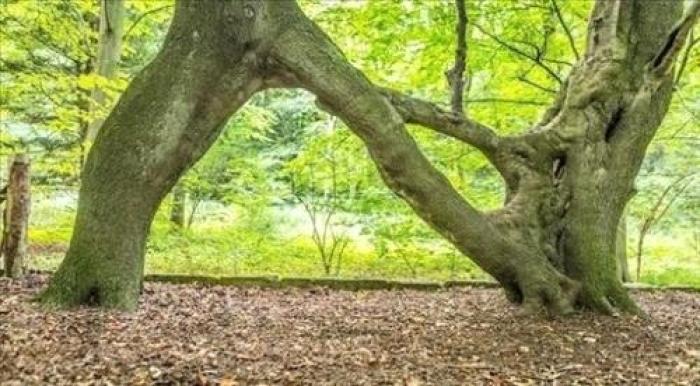 افضل شجرة في بريطانيا